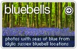 Bluebell Photos