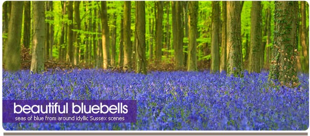 bluebell photos of sussex