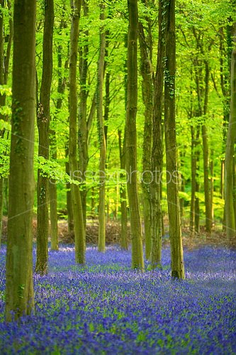 Bluebells Photo