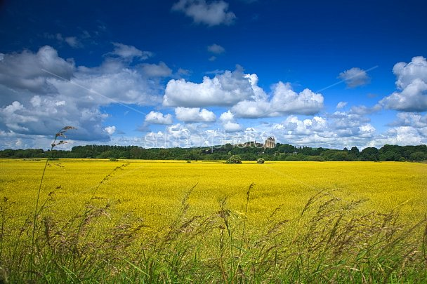 Fields of Yellow Photo