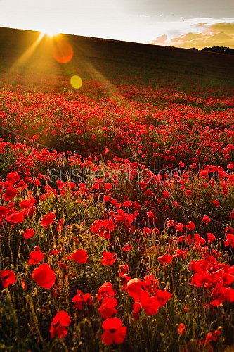 Poppy Fields Photo