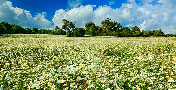 Daisy Fields Photo