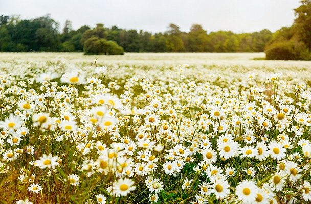 Daisy Fields Photos And Pictures. Prints And Canvas Of