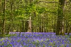 Bluebell Photo 10416
