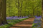 Bluebell Photo 10419