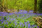 Bluebell Photo 10421