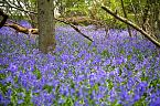 Bluebell Photo 10423