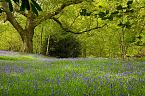 Bluebell Photo 10426