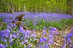 Bluebell Photo 10428