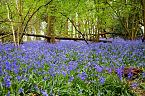 Bluebell Photo 10429