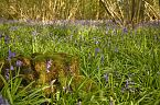Bluebell Photo 10430