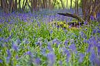 Bluebell Photo 10433