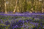 Bluebell Photo 10434