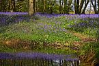 Bluebell Photo 10438