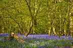 Bluebell Photo 10440
