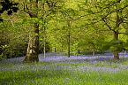 Bluebell Photo 10442