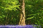 Bluebell Photo 11231
