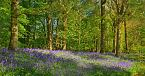 Bluebell Photo 11233