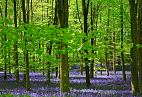 Bluebell Photo 12059