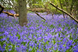 View Bluebells Photos >>