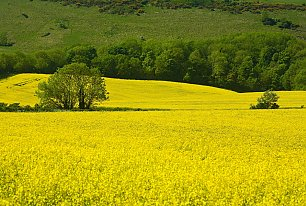 View Fields of Yellow Photos >>