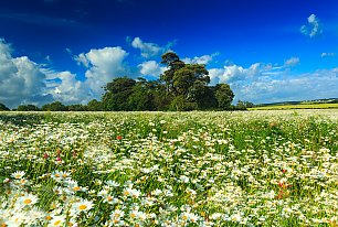 View Daisy Fields Photos >>