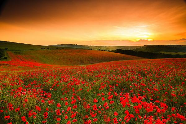 Fields of Poppies 1
