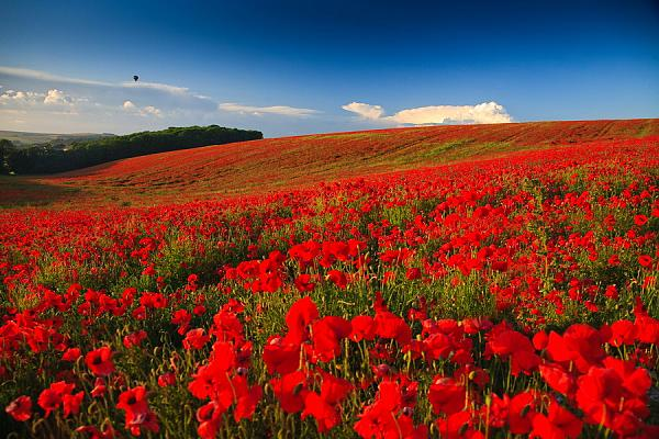 Fields of Poppies 2