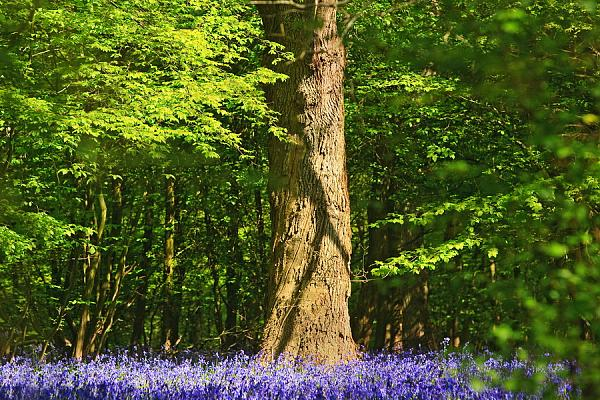 Bluebells over Sussex 1
