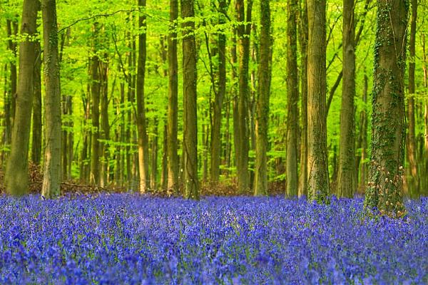 Bluebells over Sussex 2