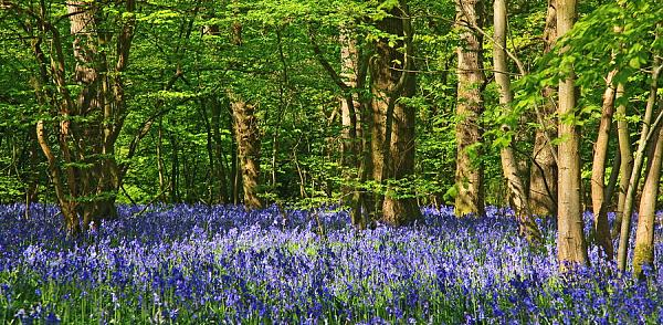 Bluebells over Sussex 3