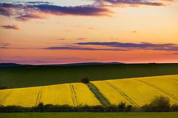Oil Seed Fields Across Sussex 1