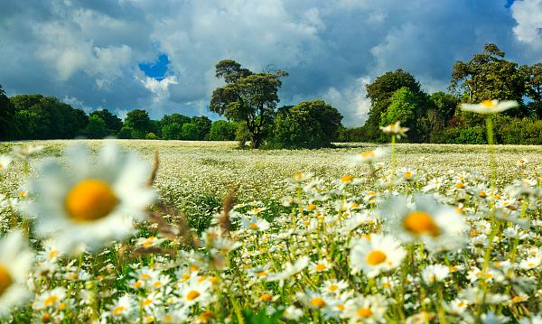 Giant daisy fields on the South Downs 1
