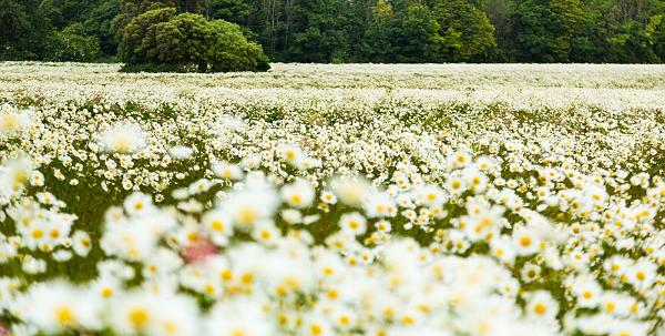 Giant daisy fields on the South Downs 2