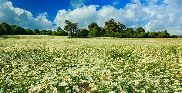Giant daisy fields on the South Downs 3